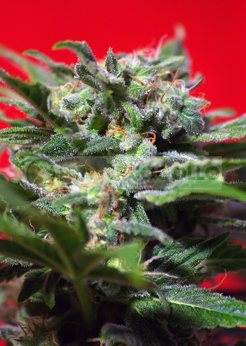 Ganesh Spirit Semilla de Marihuana de Sweet Seeds Feminizada 1