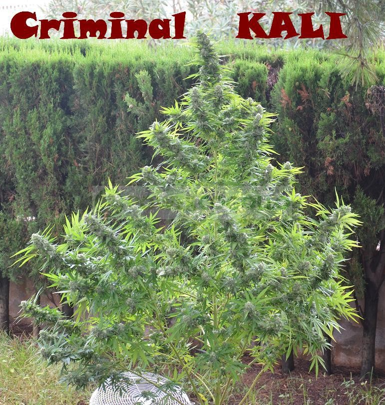 Goddess Kali (Biohazard Seeds) Semilla Feminizada 1