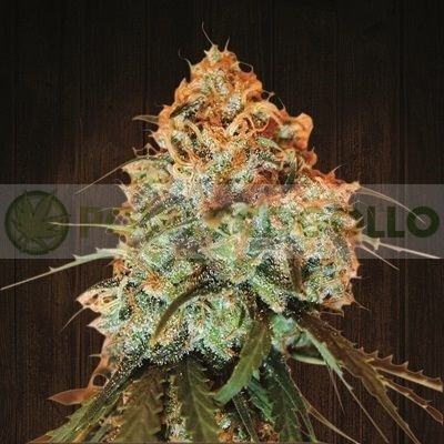 Golden Tiger Feminizada (Ace Seeds) 0