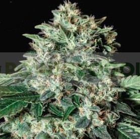 Gorila Bilbo Feminizada (Genehetik Seeds) 0