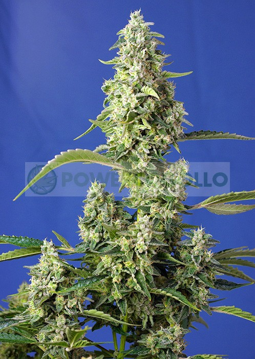 Gorilla Girl XL Auto Feminizada (Sweet Seeds) 0