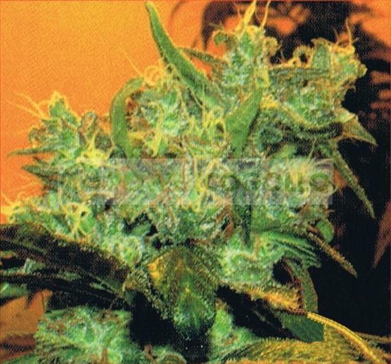 Goxuak Auto (Genehtik Seeds) Semilla Autofloración feminizada Cannabis 0