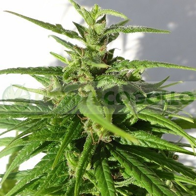 Green Haze Regular (ACE Seeds) 1