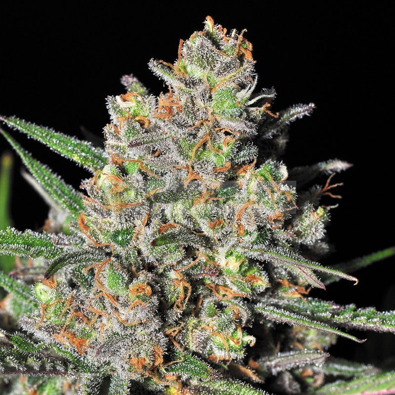 Green Love Potion (Samsara Seeds) Semilla Cannabis Feminizada 2