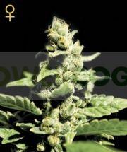 Green-o-matic Auto (Green House Seeds) Semilla Autofloreciente Feminizada Cannabis-Marihuana 0