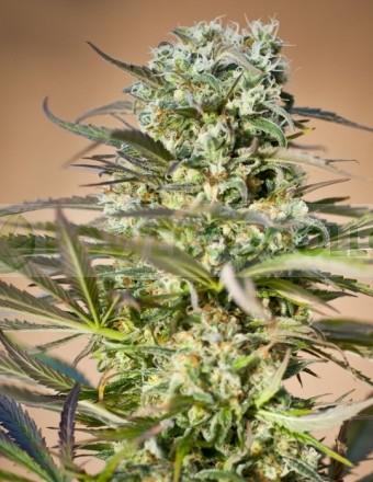 Hawaiian Wave (Ripper Seeds) Semilla Feminizada Marihuana 0