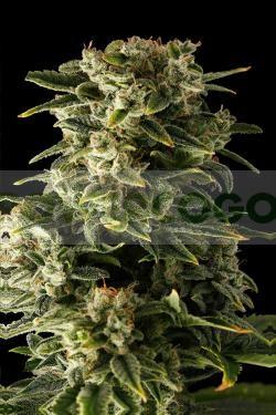 Haze Automatic, la nueva variedad de marihuana autofloreciente de Dinafem, 0