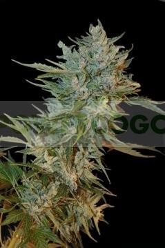 Haze Gom Automatic (Grass-o-Matic) Semilla Feminizada Autofloreciente Cannabis 0