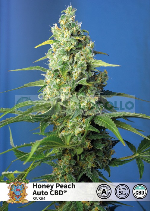 Honey Peach Auto CBD (Sweet Seeds) 0