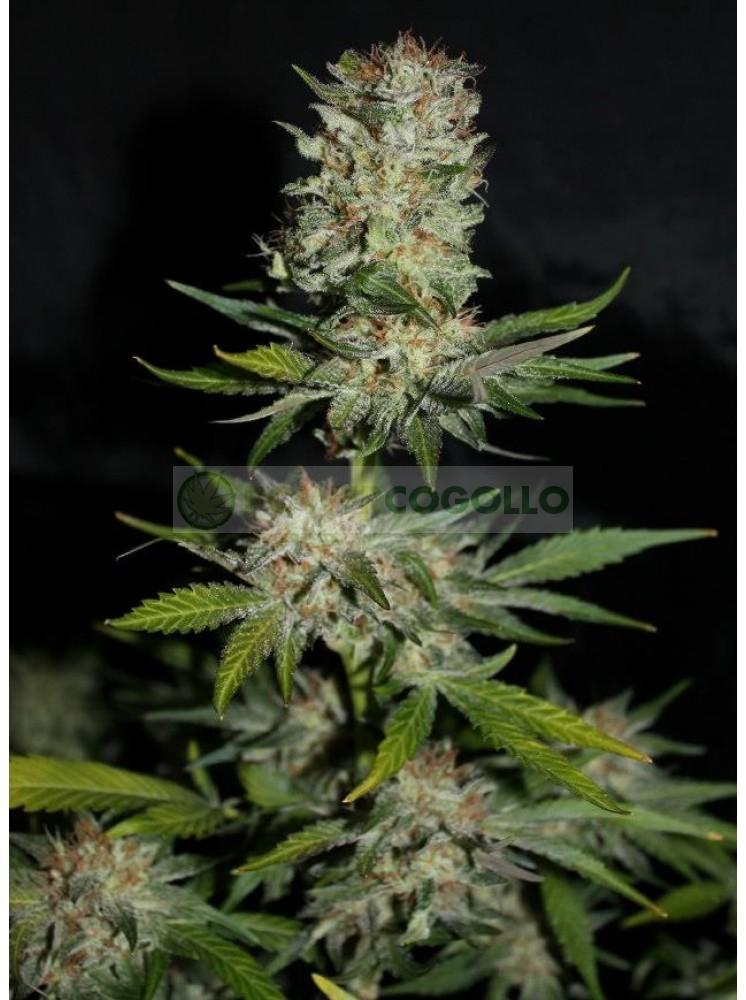 Houchie Kouchie Kush (Makka Seeds) Semilla Feminizada Cannabis 0