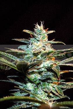 Ice Cool (Sweet Seeds) Feminizada 1