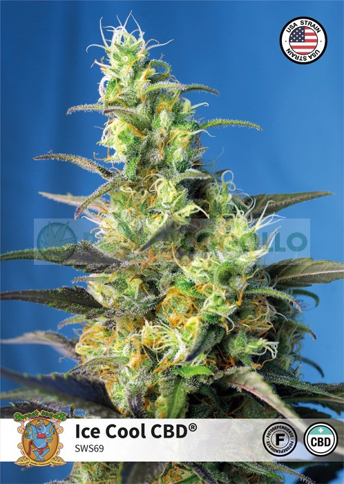 Ice Cool CBD (Sweet Seeds) 0