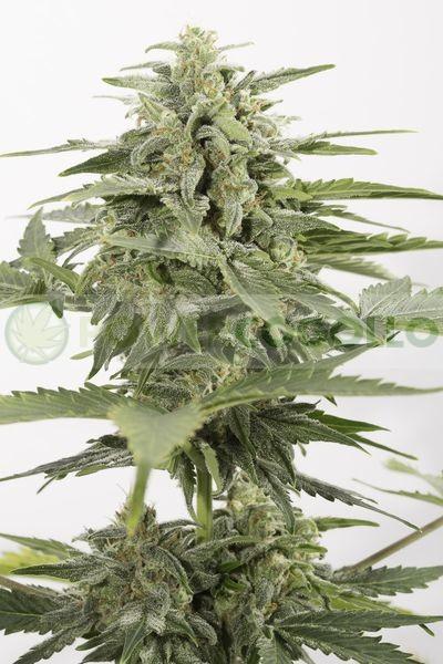 Industrial Plant Autoflowering CBD (Dinafem) 0
