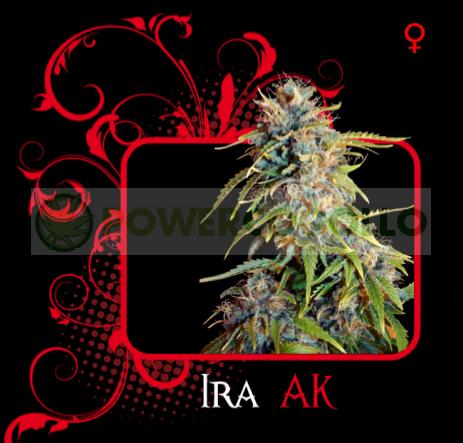 Ira Ak (7 Pekados Seeds) Semilla feminizada Marihuana Barata Ira Ak (7 Pekados Seeds) Características: ak47, ak-47 seeds, semilla, graines 0