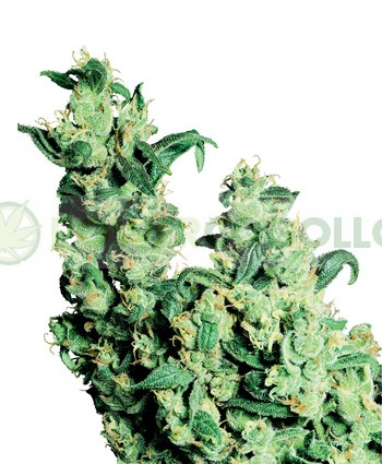 Jack Herer Regular Sensi Seeds  0