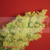 Jack la Mota (Medical Seeds) Feminizada 0