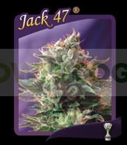 Jack 47 (Sweet Seeds) Feminizada 0