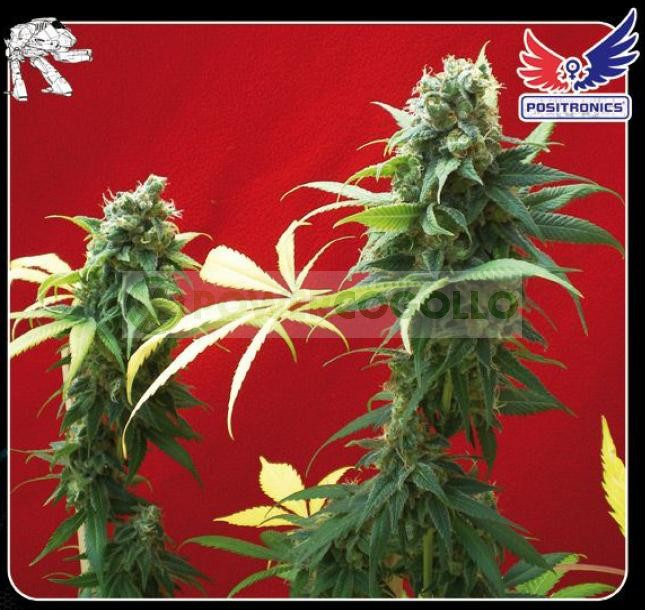 Jack Diesel (Positronics Seeds) 0