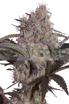 Jack Widow (SeedMakers) Semillas 100% Feminizada 0