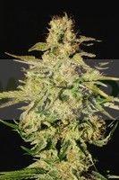 Jacky White (Paradise Seeds) Feminizada 0