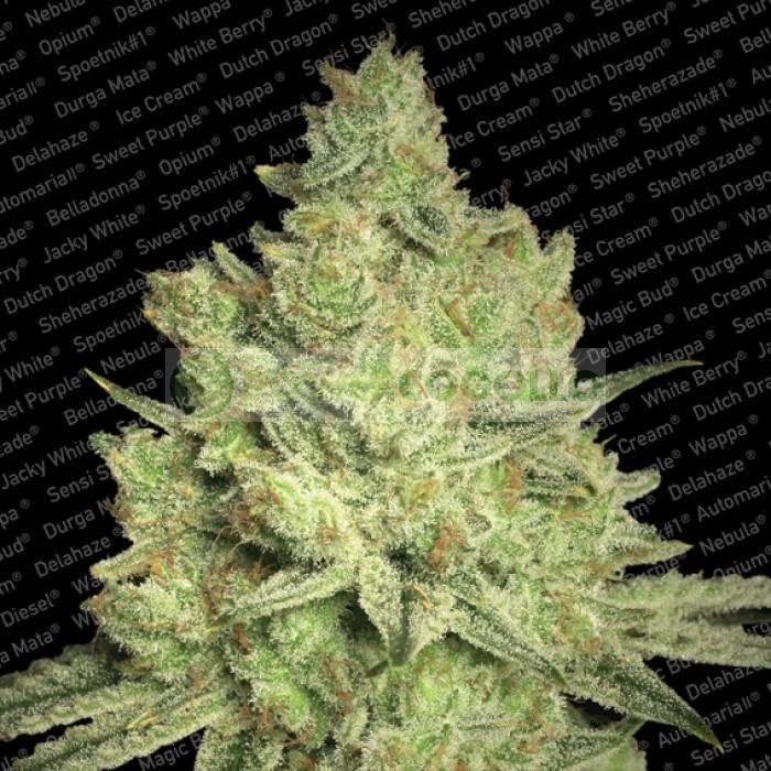 Jacky White (Paradise Seeds) Feminizada 1
