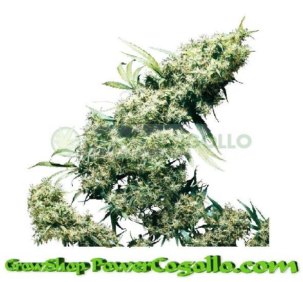 Jamaican Pearl Feminizada (Sensi Seeds) 0