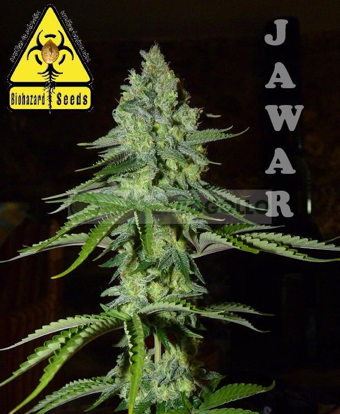 Jawar (Biohazard Seeds) Feminizada 2