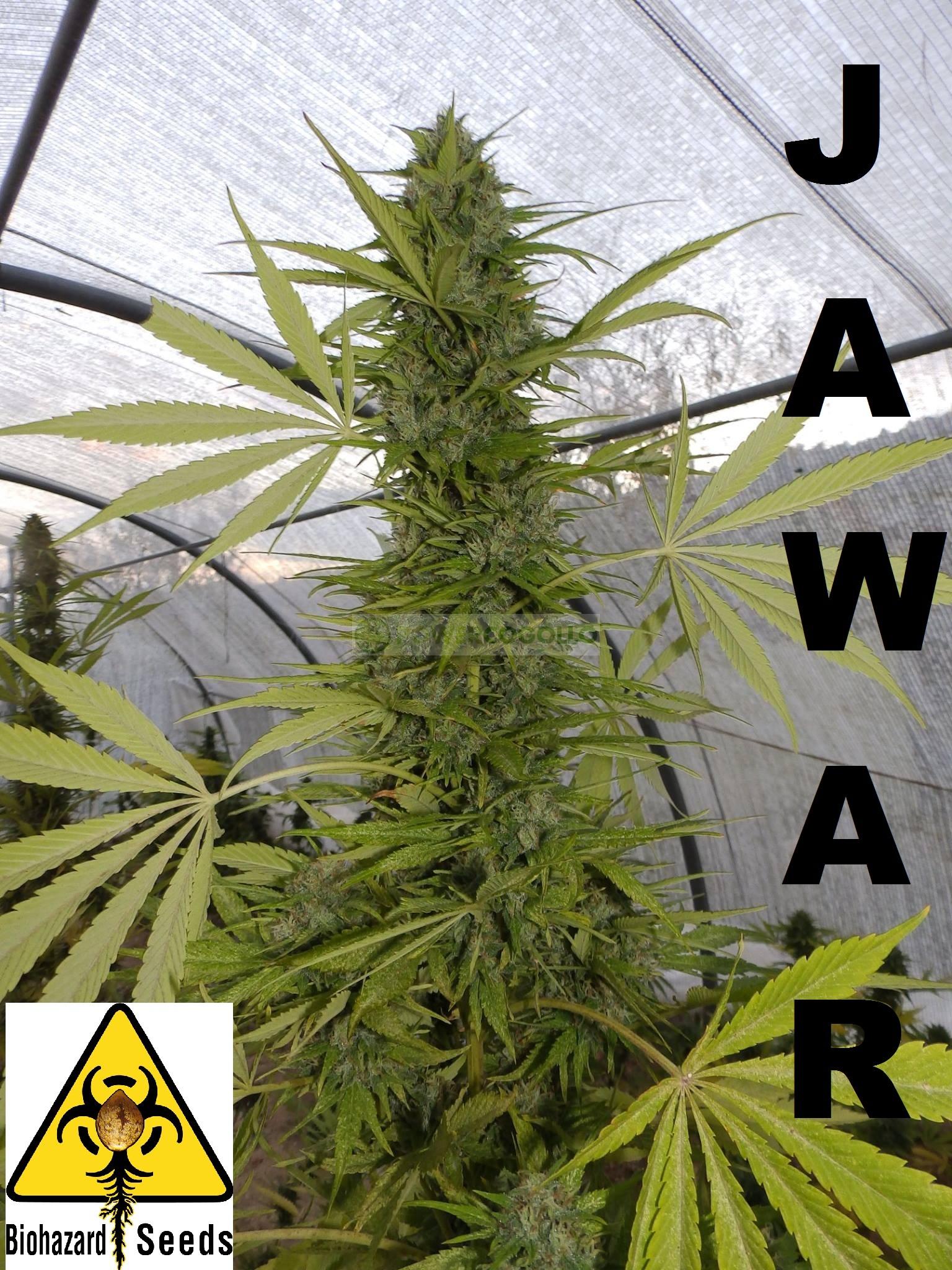 Jawar (Biohazard Seeds) Feminizada 1