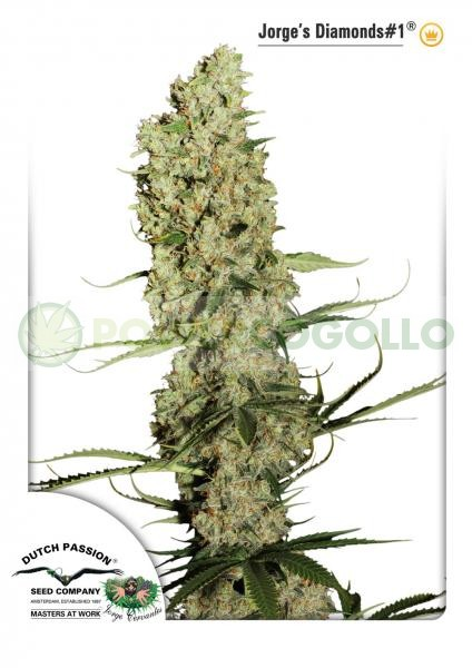 Jorge's Diamond #1 (Dutch Passion Seeds) Feminiza 2