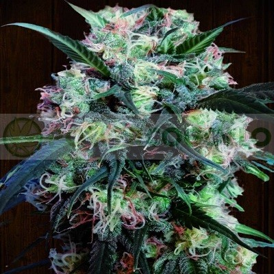 Kali China Feminizada (Ace Seeds) 1