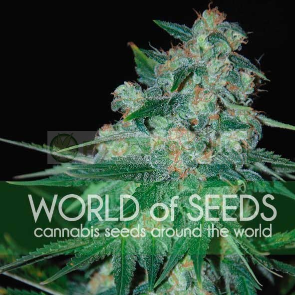 Ketama Feminizada (World of Seeds) 1