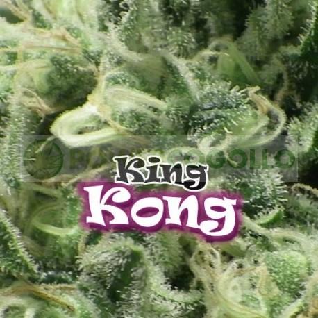 King Kong (Dr. Underground Seeds) Semilla Feminizada Cannabis - Marihuana 0