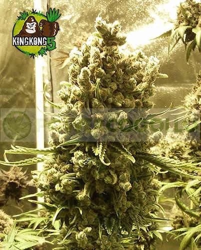 King Kong Five (Mano Verde Seeds) Semilla Feminiza Cannabis-Marihuana 3