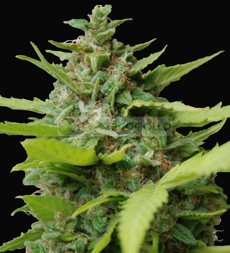 Kiss Dragon (Samsara Seeds 2