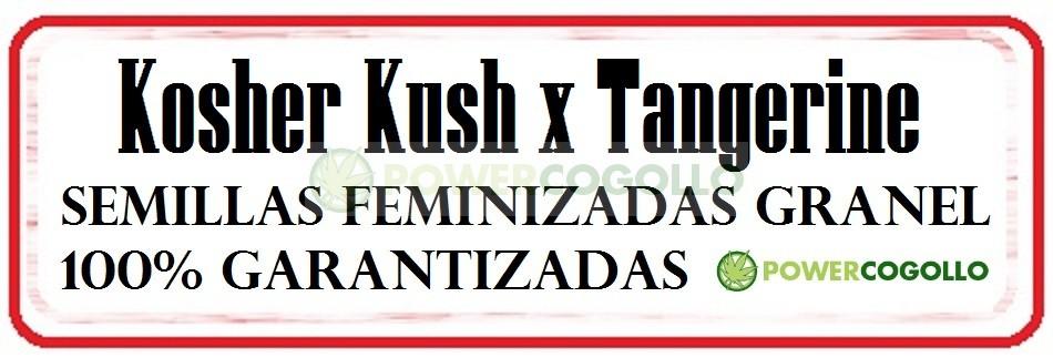Kosher Kush x Tangerine Feminizada Granel 0