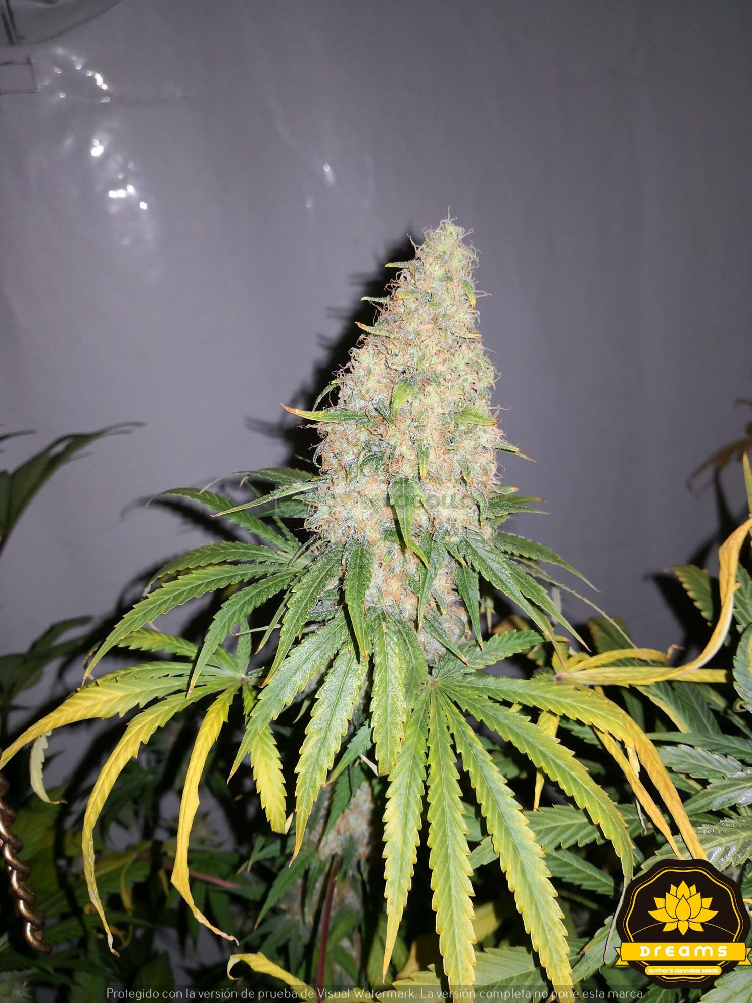 La Benitera Feminizada (Dreams Cannabis Seeds) 0