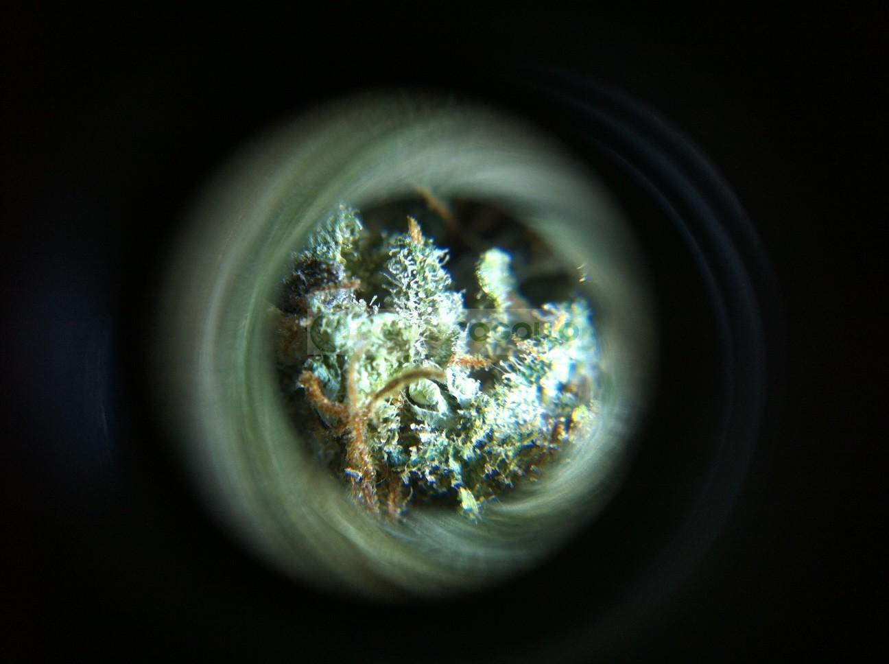 Microscopio para ver los tricomas y resina de la marihuana 0