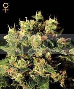 Ladyburn 1974 GH (Green House Seeds) Semilla feminizada Marihuana Barata 0
