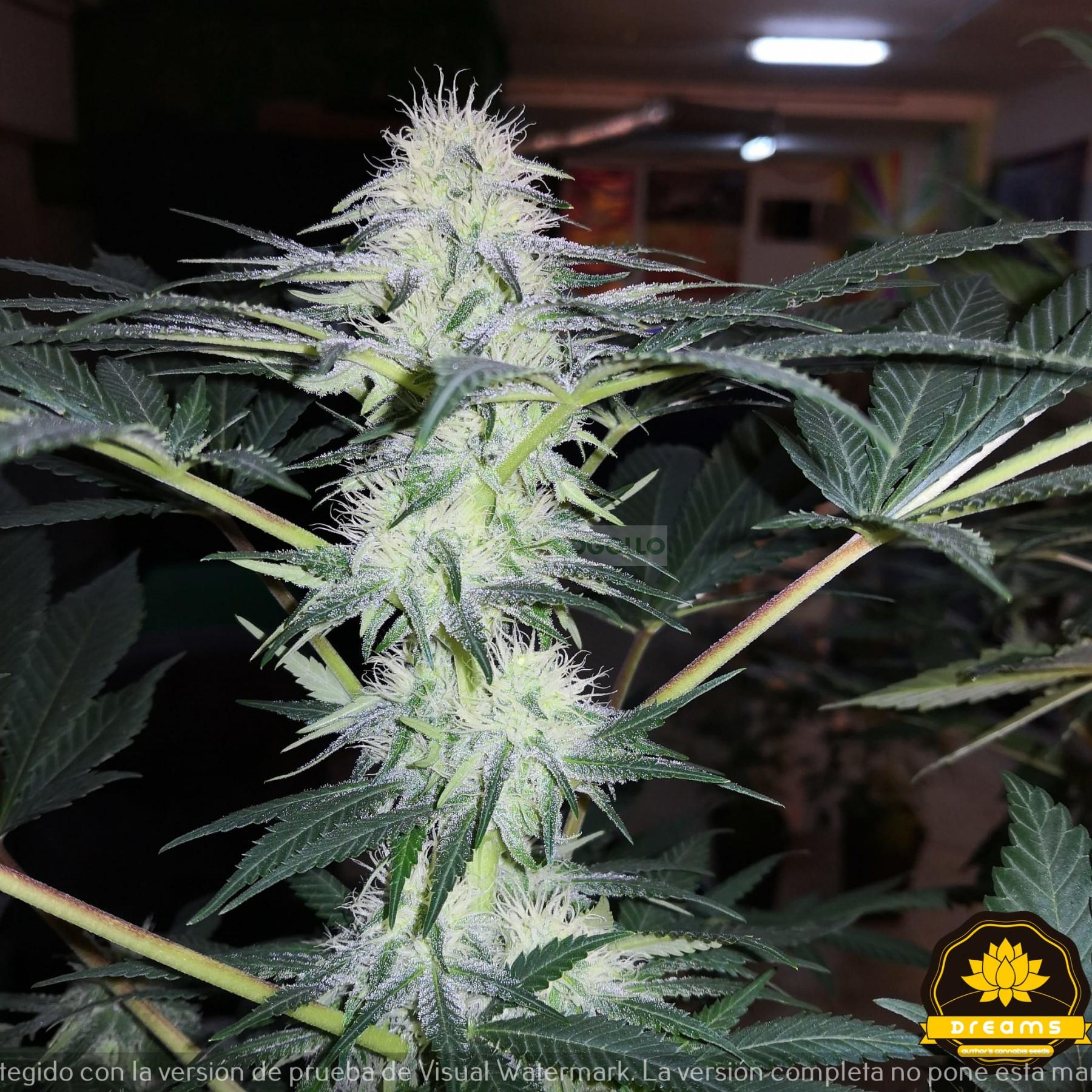 Lagunak Feminizada (Dreams Cannabis Seeds) 0