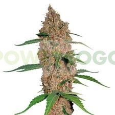 Laughing Buddha (Barney´s Farm Seeds) 1