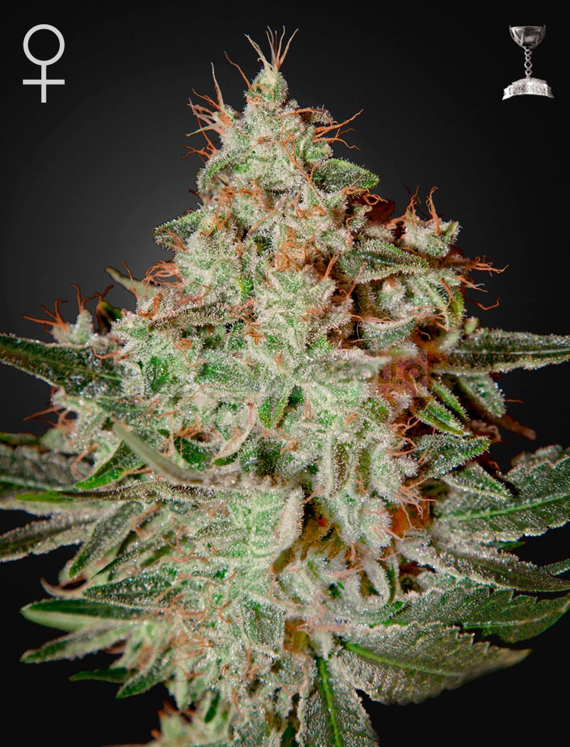 Lemon Skunk (Green House Seeds) 1