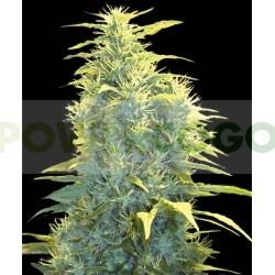 Lennon (Pyramid Seeds) Feminizada 1