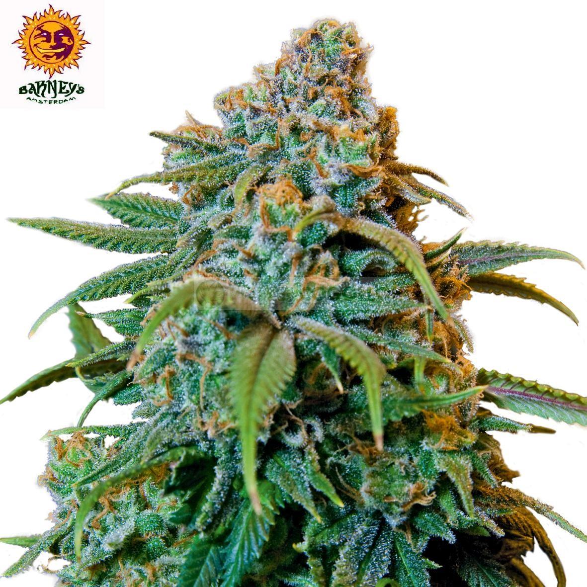 Liberty Haze (Barney´s Farm Seeds) Semilla Feminizada 0