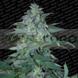 Magic Bud Regular 1