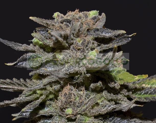 Magma de CBD Seeds Semilla feminizada de Cannabis 0