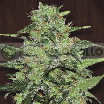 Malawi Regular (Ace Seeds) 0