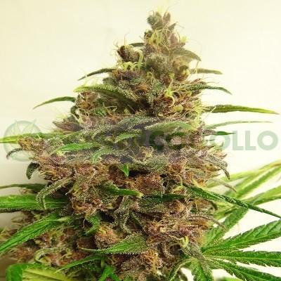 Malawi x PCK Feminizada (ACE Seeds) 0