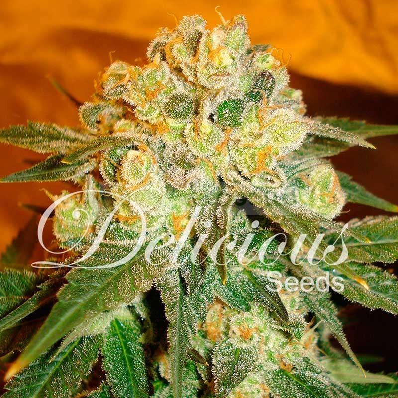 Marmalate (Delicious Seeds) Semilla de Cannabis Feminizada 0