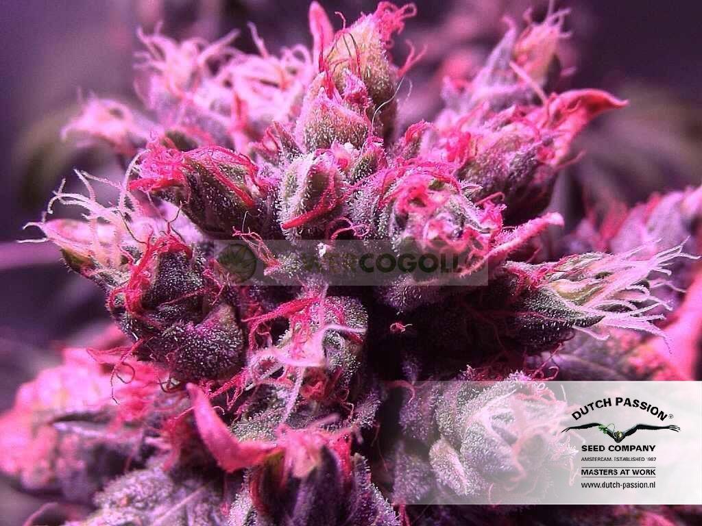 Masterkush (Dutch Passion Seeds) Feminizada  2