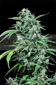 Maxi Haze Automatic (GRass-o-Matic) Semilla feminizada Autofloreciente Cannabis 0
